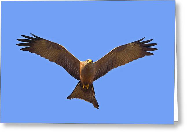 Black Kites Greeting Cards - Yellow-billed Kite Greeting Card by Tony Beck