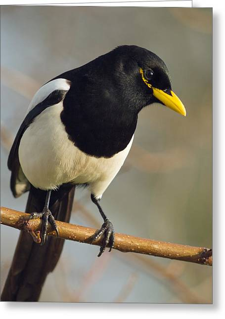 Yellow Billed Magpie Greeting Cards - Yellow-billed Magpie Greeting Card by Doug Herr