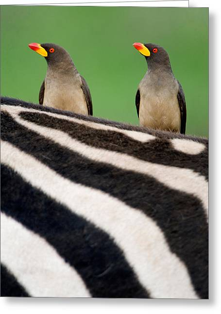Craters Greeting Cards - Yellow-billed Oxpeckers Buphagus Greeting Card by Panoramic Images