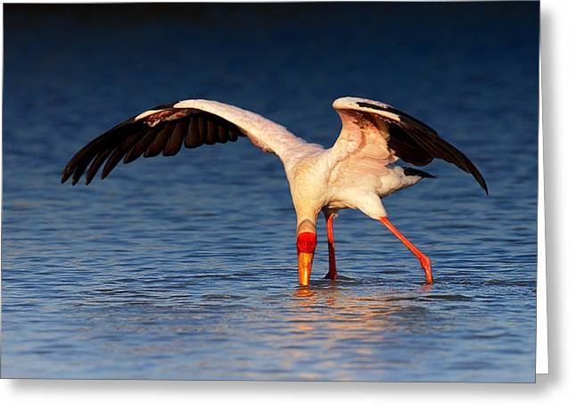 Ibis Greeting Cards - Yellow-billed Stork hunting for food Greeting Card by Johan Swanepoel