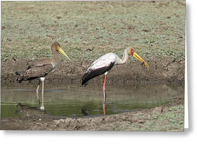 Yellow-billed Stork Juvenile With Adult Greeting Card by Tony Camacho