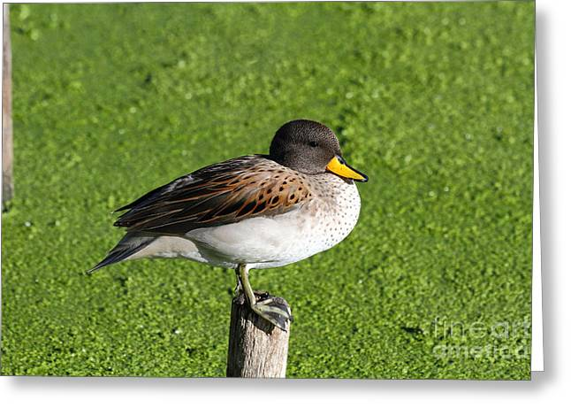 Anatinae Greeting Cards - Yellow billed teal portrait Greeting Card by James Brunker