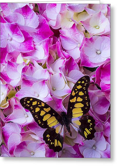 Antenna Greeting Cards - Yellow Black Butterfly On Hydrangea Greeting Card by Garry Gay