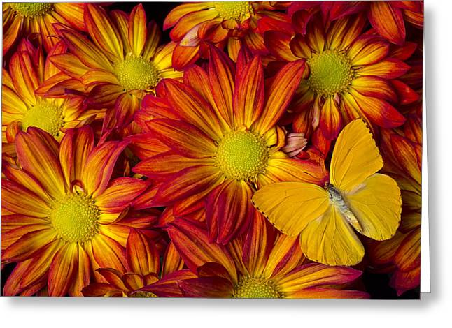 Yellow Butterfly Greeting Cards - Yellow butterfly on pelee mum Greeting Card by Garry Gay