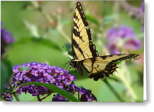 Spur On Greeting Cards - Yellow Butterfly on Purple Greeting Card by Phyllis Taylor