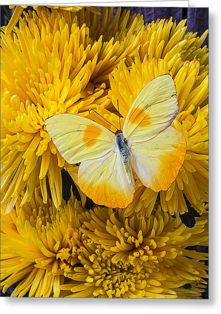 Yellows Greeting Cards - Yellow butterfly on yellow mums Greeting Card by Garry Gay