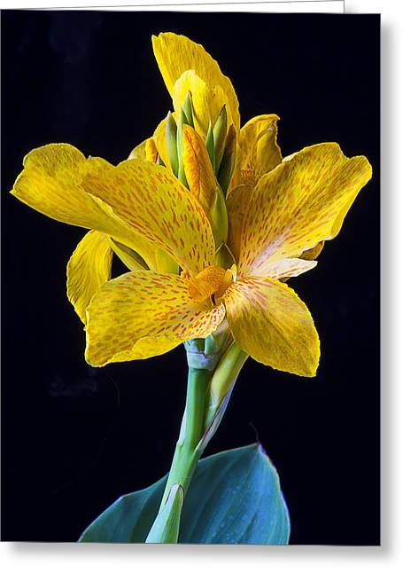 Canna Photographs Greeting Cards - Yellow Canna Flower Greeting Card by Garry Gay