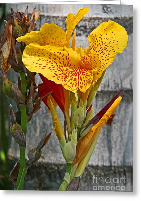 Yellow Canna Lily Greeting Card by Kenny Bosak