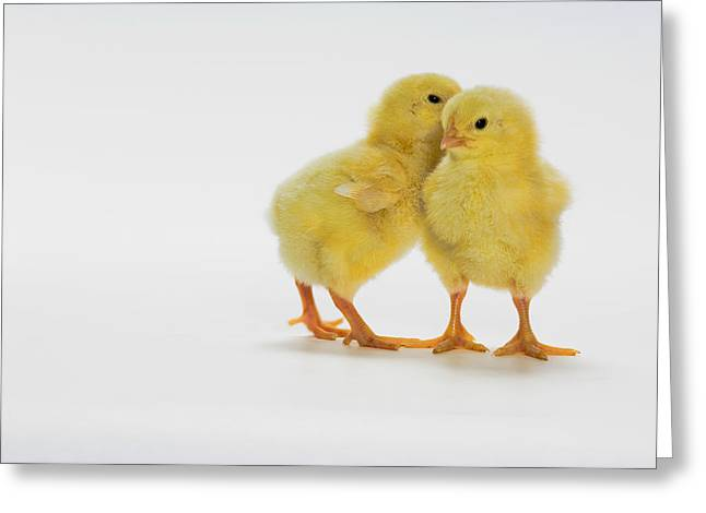 Full Body Greeting Cards - Yellow Chicks. Baby Chickens Greeting Card by Thomas Kitchin & Victoria Hurst