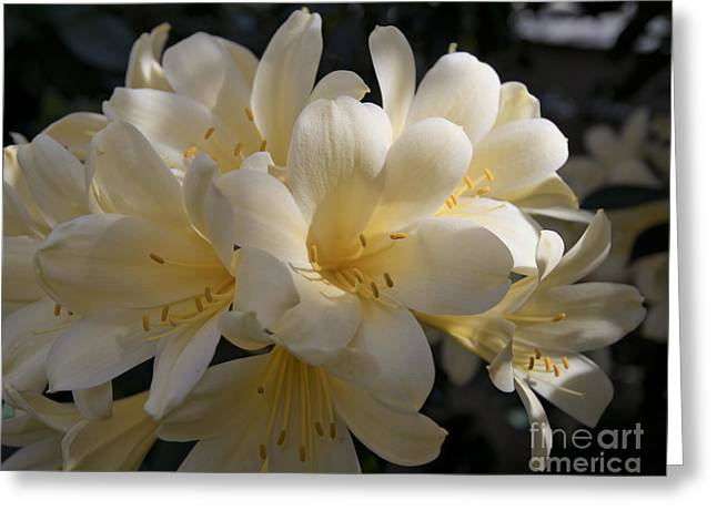 Yellow Clivia 1004 Greeting Card by Terri Winkler