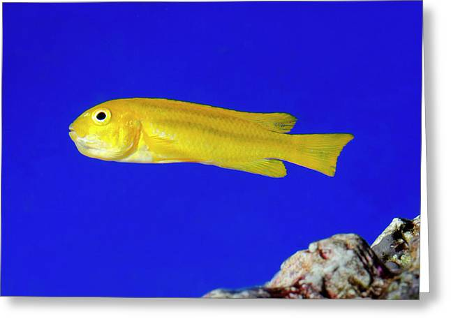 Yellow Clown Goby Or Okinawa Goby Greeting Card by Nigel Downer