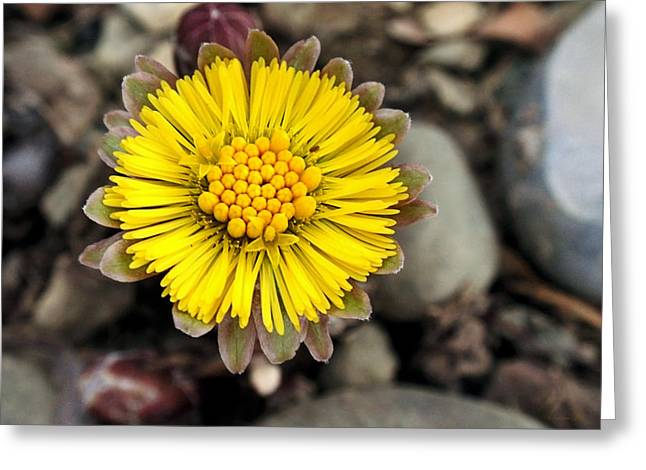 Yellow Coltsfoot Flower Greeting Card by Christina Rollo