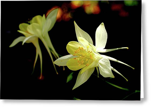 Sunlit Greeting Cards - Yellow Columbine Greeting Card by Rona Black