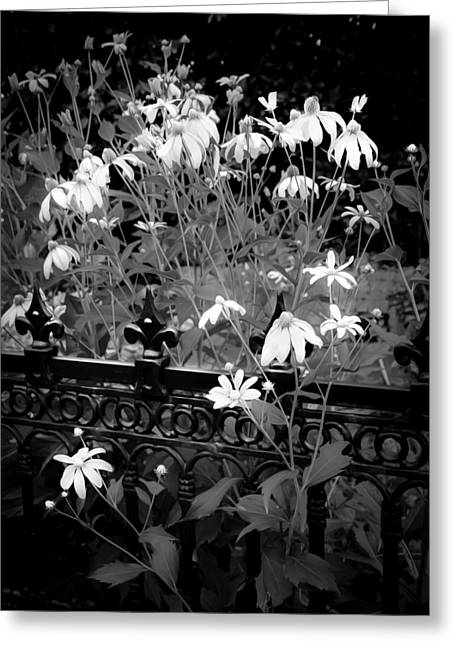 Abstracted Coneflowers Greeting Cards - Yellow Coneflowers Echinacea Wrought Iron Gate BW Greeting Card by Rich Franco