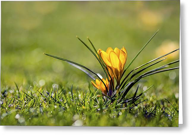 Yellow Crocus Greeting Cards - Yellow Crocus Flower - VanDusen Botanical Garden Greeting Card by May L