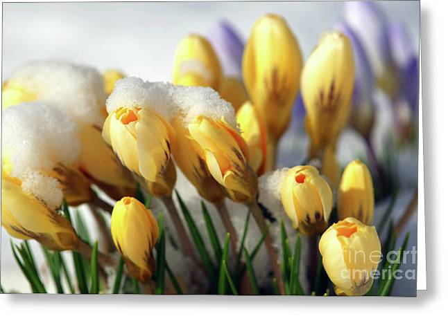 Spring Bulbs Greeting Cards - Yellow Crocuses in the Snow Greeting Card by Sharon  Talson