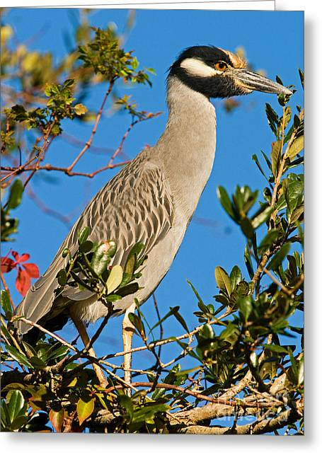 Yellow-crowned Night Heron Greeting Cards - Yellow Crown Night Heron Greeting Card by Millard H. Sharp
