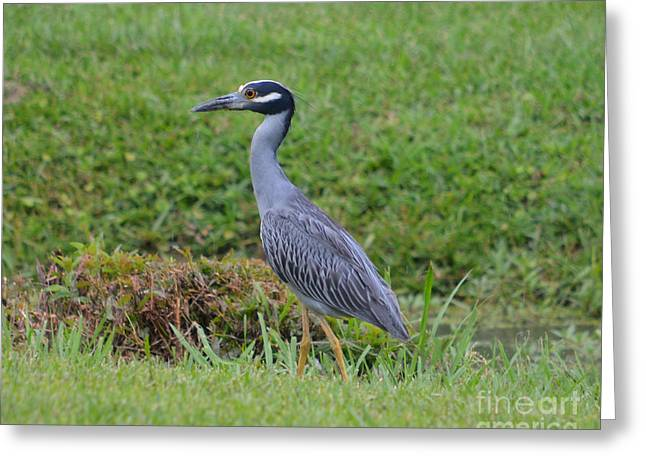 Ruth Housley Greeting Cards - Yellow Crown Night Heron Greeting Card by Ruth  Housley
