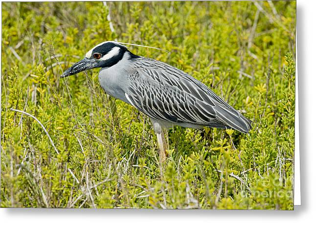 Yellow-crowned Night Heron Greeting Cards - Yellow-crowned Night Heron Greeting Card by Anthony Mercieca