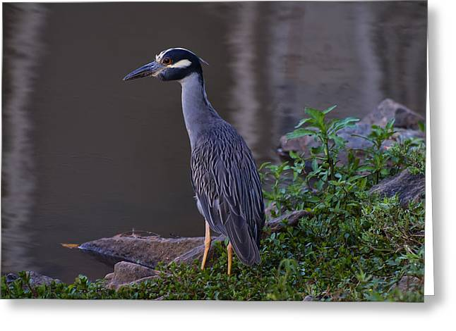 Yellow-crowned Night Heron Greeting Cards - Yellow Crowned Night Heron Greeting Card by Chris Flees