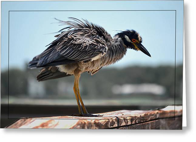 Buket Greeting Cards - Yellow Crowned Night Heron Greeting Card by DigiArt Diaries by Vicky B Fuller