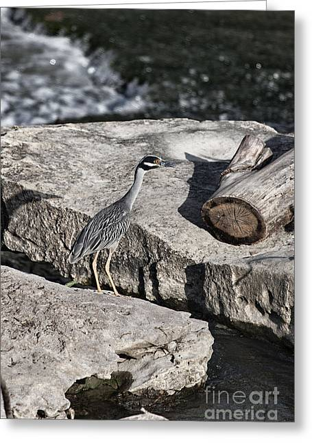 Yellow-crowned Night Heron Greeting Cards - Yellow Crowned Night Heron Greeting Card by Douglas Barnard