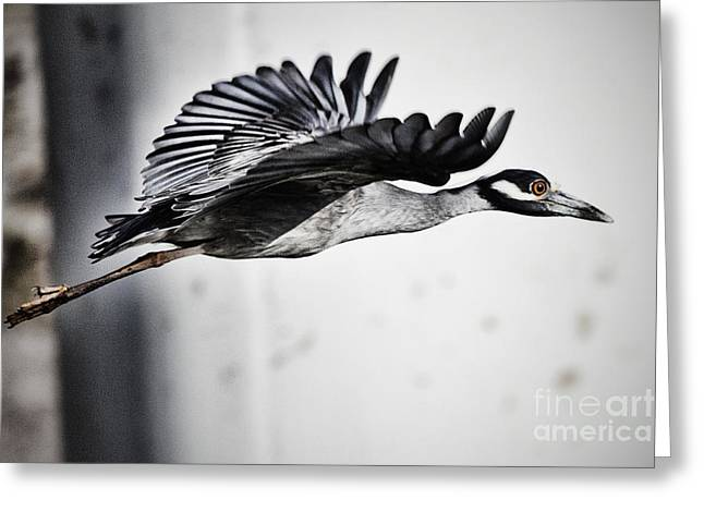 Yellow-crowned Night Heron Greeting Cards - Yellow Crowned Night Heron in Flight Greeting Card by Douglas Barnard