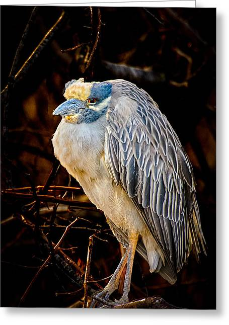 Scusset Beach. Greeting Cards - Yellow crowned Night Heron Greeting Card by Myer Bornstein