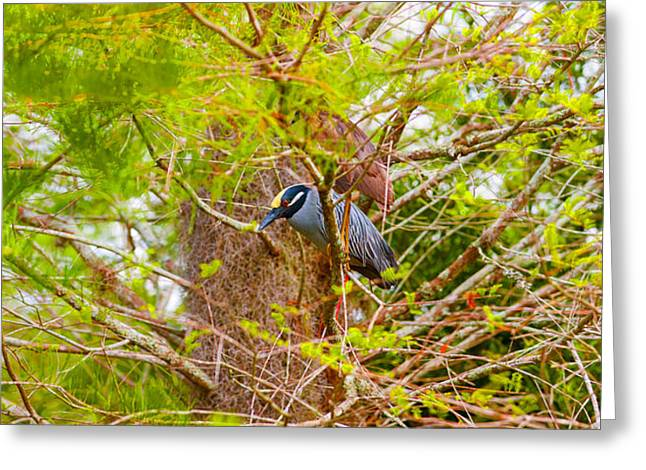 Crowned Heron Greeting Cards - Yellow-crowned Night Heron Nyctanassa Greeting Card by Panoramic Images