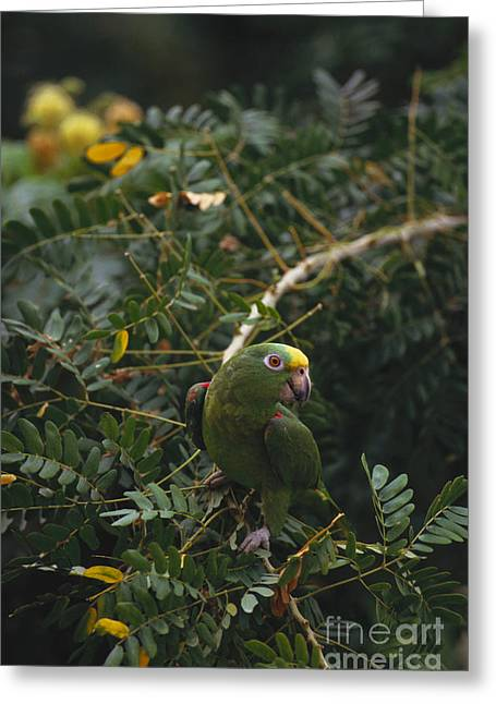 Amazona Ochrocephala Greeting Cards - Yellow-crowned Parrot Greeting Card by Art Wolfe