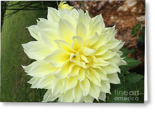 Dinnerplate Dahlias Greeting Cards - Yellow Dahlia 1 Greeting Card by Kimberly Cartier