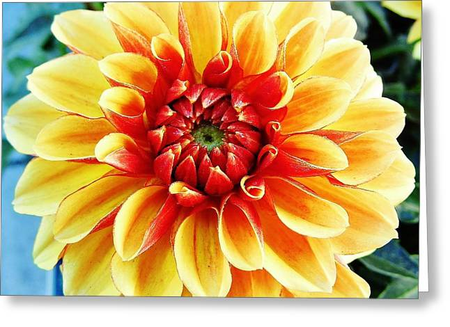 Moisture On Plants Photographs Greeting Cards - Colorful - Dahlia - Yellow  Beauty Greeting Card by D Hackett