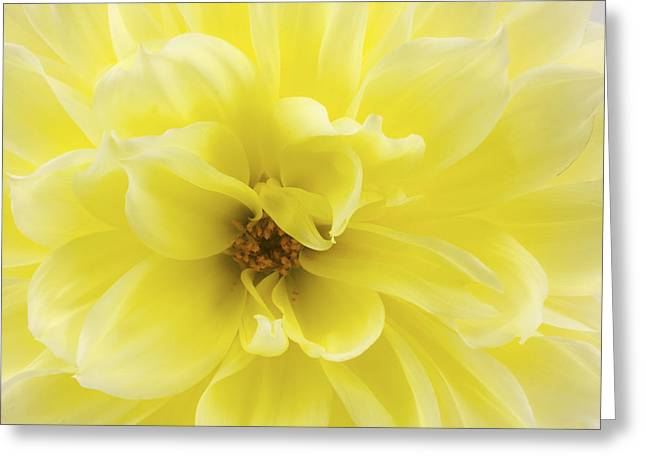 Dahlias Greeting Cards - Yellow Dahlia Flower Greeting Card by Keith Webber Jr