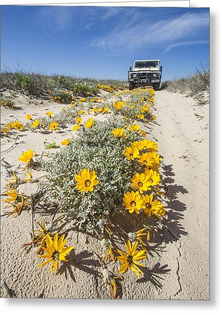 Northern Africa Greeting Cards - Yellow daisies (Didelta carnosa) Greeting Card by Science Photo Library