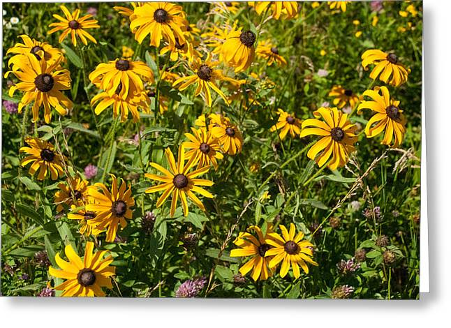 Yellow Daisies In Tall Grass Prairie Madison County Iowa Greeting Card by Robert Ford