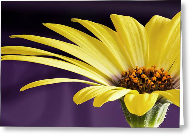 Barbara Smith Greeting Cards - Yellow Daisy Greeting Card by Barbara Smith