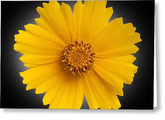 Up Close Flowers Greeting Cards - Yellow Daisy Greeting Card by Tony Cordoza