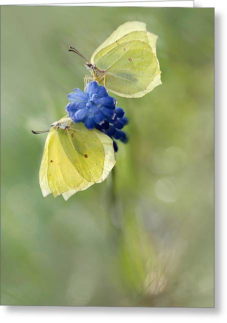 Blue Grapes Greeting Cards - Yellow Duet Greeting Card by Jaroslaw Blaminsky