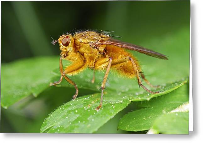 Dung Greeting Cards - Yellow dung fly Greeting Card by Science Photo Library