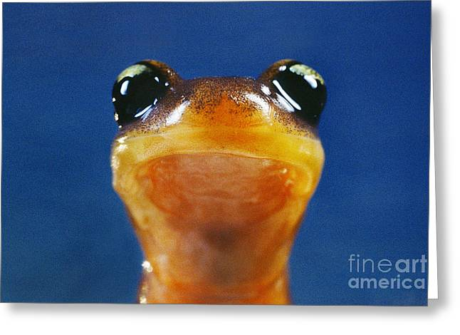 Animal Body Part Greeting Cards - Yellow-eyed ensatina salamander Greeting Card by Frans Lanting MINT Images