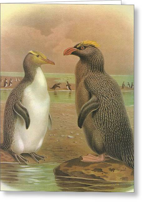 Ocean Shore Greeting Cards - Yellow Eyed Penguin and Snares Crested Penguin  Greeting Card by J G Keulemans