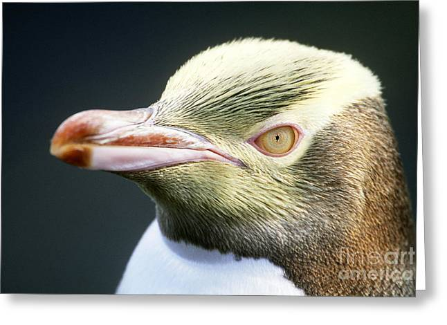 """""""yellow Eyes"""" Greeting Cards - Yellow-eyed Penguin Greeting Card by Art Wolfe"""