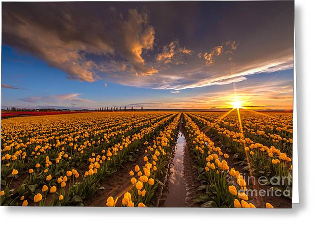 Tulips Greeting Cards - Yellow Fields and Sunset Skies Greeting Card by Mike Reid