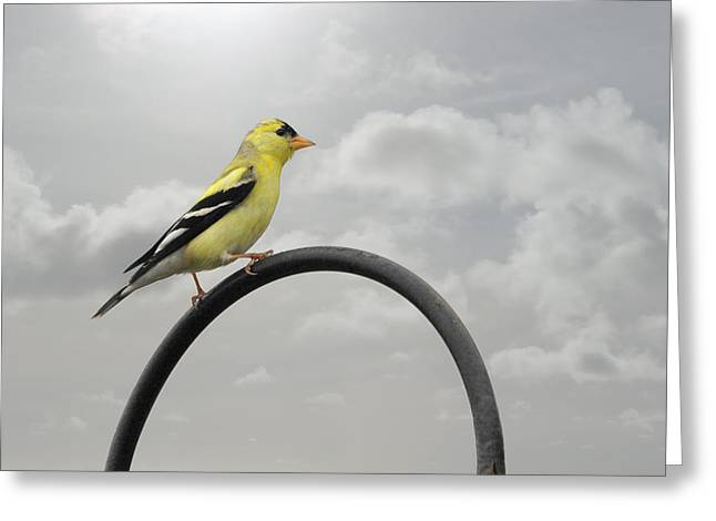Haze Photographs Greeting Cards - Yellow Finch a bright spot of color Greeting Card by Christine Till