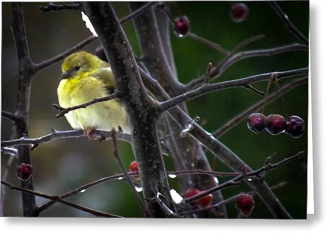 Little Birds Greeting Cards - Yellow Finch Greeting Card by Karen Wiles