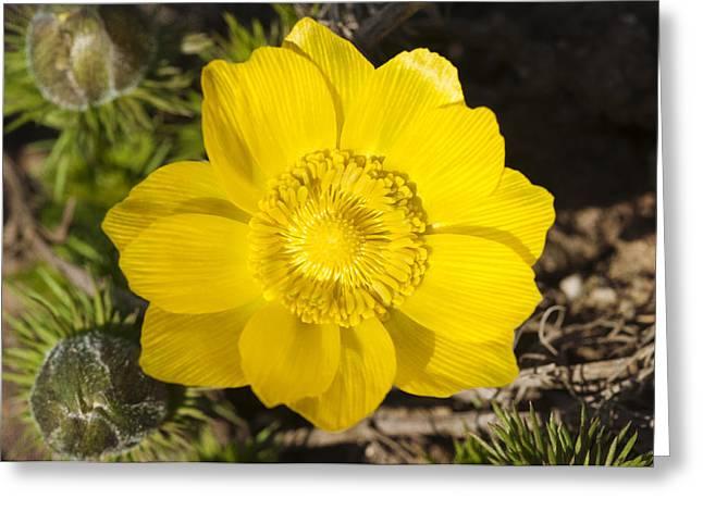 False Hellebore Greeting Cards - Yellow flower adonis vernalis Greeting Card by Matthias Hauser