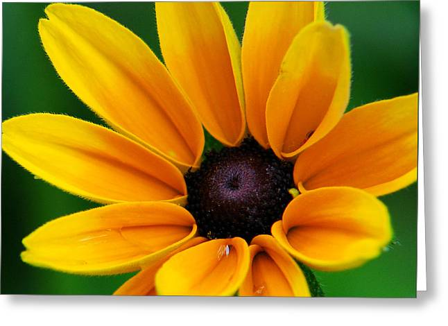Yellow Flower Gift Greeting Cards - Yellow Flower Black-Eyed Susan Greeting Card by Christina Rollo