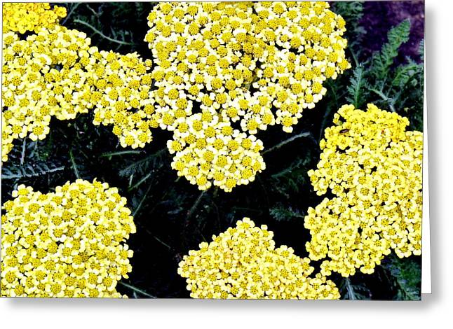 Sanford Greeting Cards - Yellow Flowers Greeting Card by Sanford