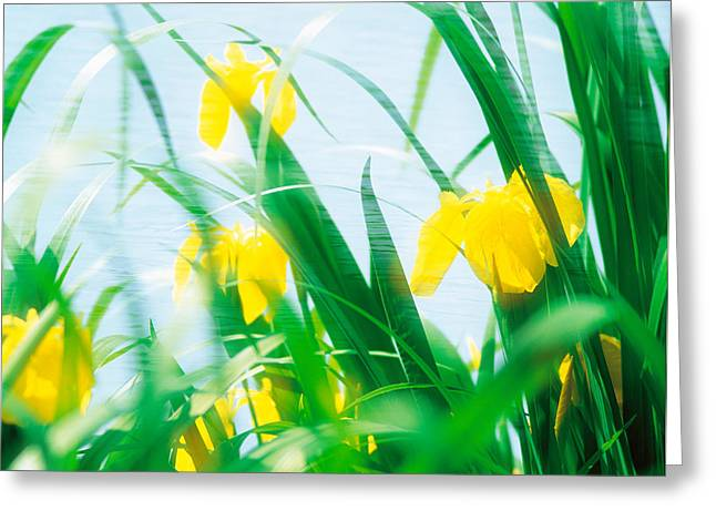 Yellow Leaves Greeting Cards - Yellow Flowers With Grass An Sky Greeting Card by Panoramic Images
