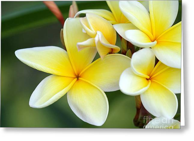 Lei Greeting Cards - Yellow Frangipani Flowers Greeting Card by Sabrina L Ryan